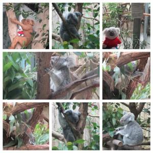 Zoo Duisburg Koalas